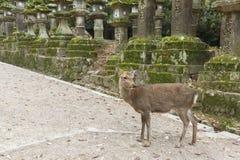 Олени в Nara, Японии стоковое фото