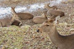 Олени в Nara, Японии стоковые изображения rf