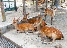 Олени в Nara, японии Стоковая Фотография