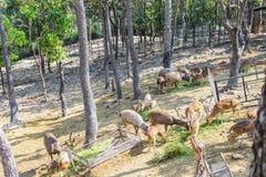 Олени группы коричневые женские и мужчина сильнорослый на еде fres травы стоковые фотографии rf