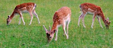 олени, животное, живая природа, млекопитающее, пыжик, трава, одичалая, природа, целина, лань, детеныш, коричневый цвет, зеленый ц стоковое изображение rf