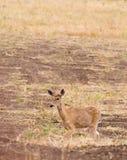 олени заискивают whitetail любящей мамы наблюдательный стоковая фотография rf