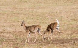 олени заискивают whitetail любящей мамы наблюдательный стоковые изображения