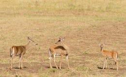 олени заискивают whitetail любящей мамы наблюдательный стоковое изображение