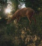 олени замыкают белизну Стоковые Изображения