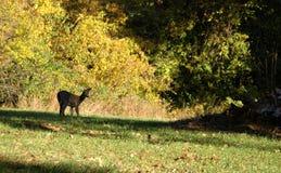 олени замыкают белизну Стоковые Фото
