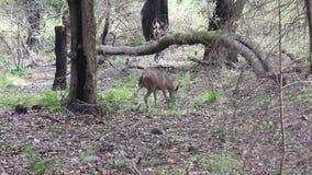 Олени Калифорнии ранчо Shiloh региональные Парк включает полесья дуба, леса смешанных evergreens акции видеоматериалы