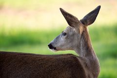 Олени козуль, capreolus Capreolus Одичалые олени косуль в природе стоковые фото