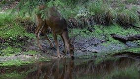 Олени косуль в лесе, capreolus Capreolus Одичалая питьевая вода оленей косуль акции видеоматериалы