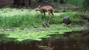 Олени косуль в лесе, capreolus Capreolus Одичалые олени козуль акции видеоматериалы