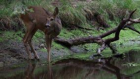 Олени косуль в лесе, capreolus Capreolus сток-видео