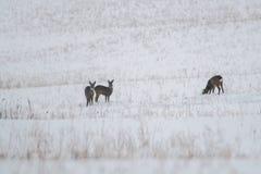 Олени косуль в луге зимы стоковое фото rf