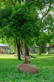Олени косуль в поле стоковое изображение rf