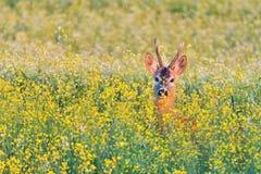 Олени косуль в цветках стоковая фотография