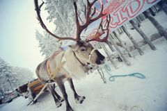 олени Лапландия Стоковое Фото