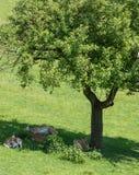 олени лежат в тени дерева на зеленой траве Стоковые Фотографии RF