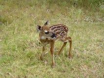олени младенца Стоковое Изображение