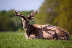 олени наслаждаясь солнцем козуль Стоковые Изображения