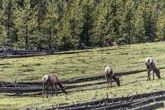 Олени на yellowstone в поле стоковое изображение