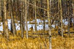 Олени осла в лесе, национальный парк Banff, Альберта, Канада Стоковая Фотография RF