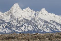 Олени осла inprofile перед снежной горной цепью Стоковое Фото