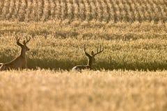Олени осляка в поле пшеницы стоковая фотография