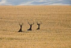 Олени осляка в поле пшеницы стоковые фото