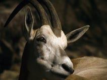 олени осторожные Стоковое фото RF
