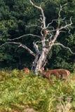 Олени парка Ричмонда Стоковое Изображение