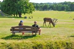 Олени пася в парке стоковое изображение