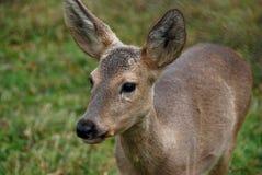 олени резервируют siberian детенышей Стоковые Фото