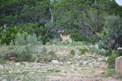 олени самеца оленя замыкают белизну Стоковые Изображения RF