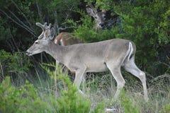 олени самеца оленя замыкают белизну Стоковое фото RF