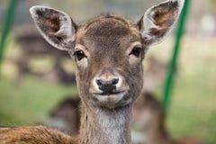 олени самеца оленя Стоковые Изображения RF