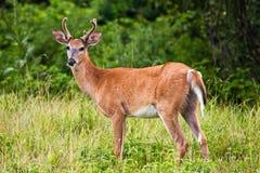 олени самеца оленя field травянистое Стоковые Фотографии RF