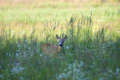 Олени самца оленя в расчистке стоковые фото