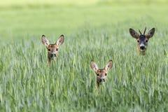 Олени самца оленя с косул-оленями в расчистке стоковые изображения
