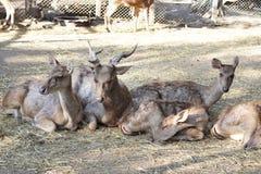 Олени семьи спать на траве в зоопарке Австралии Стоковое Изображение