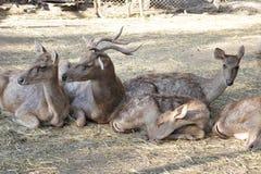 Олени семьи спать на траве в зоопарке Австралии Стоковые Фото