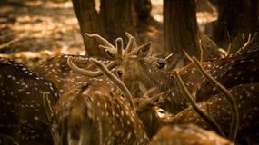 Олени, фото живой природы, олени в джунглях, красивые олени стоковые фотографии rf