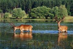 олени Стоковые Изображения