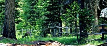 олени Стоковое Изображение RF