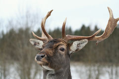 олени Стоковое фото RF
