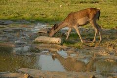 олени Стоковая Фотография RF
