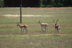 олени antlers стоковые фото