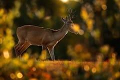 Олени back-light вечера Олени Пампаса, bezoarticus Ozotoceros, сидя в зеленой траве, Pantanal, Бразилия Сцена живой природы от na Стоковая Фотография RF