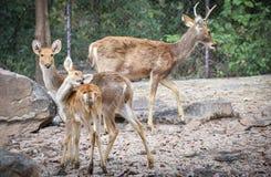 Олени Barasingha стоковое изображение