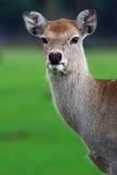 олени field зеленый цвет Стоковые Фотографии RF