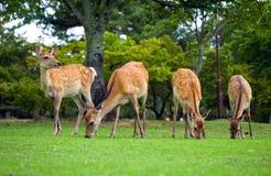 Олени Nara Стоковые Изображения RF