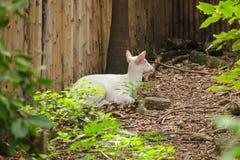 Олень альбиноса общий лаяя как обычный олень, стоковые фотографии rf